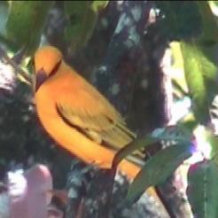 African golden oriole in the Nhamacoa