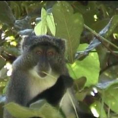 One of our endangered Samango monkeys