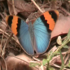 The Gold banded forester butterfly