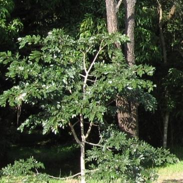 A young Chanfuta tree